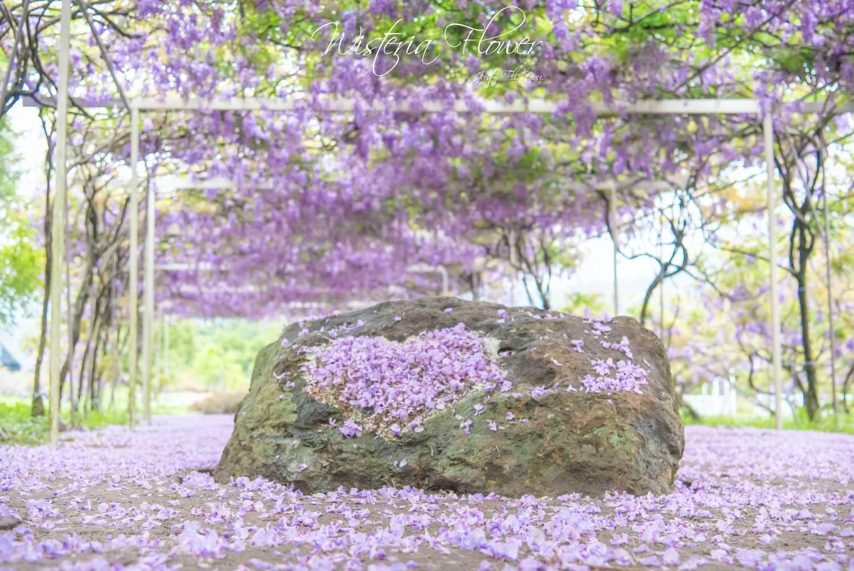 新北淡水紫藤咖啡園