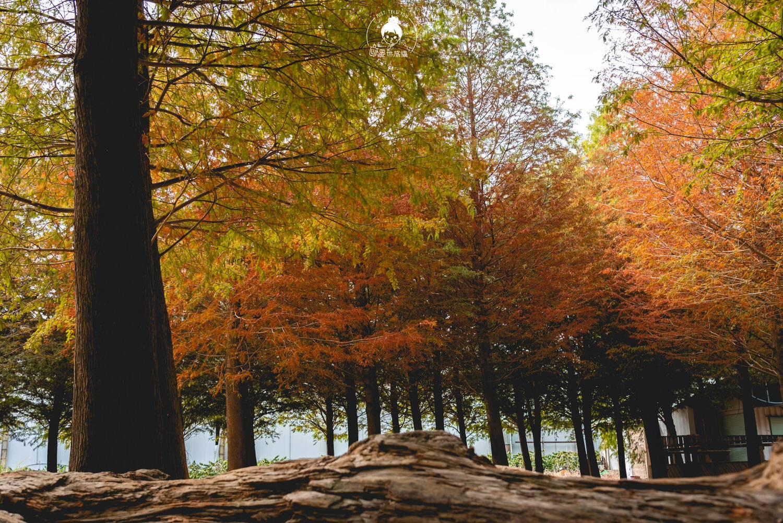 南投、南投 139縣道落羽松森林・秋天的顏色已漸漸將顏色染上了