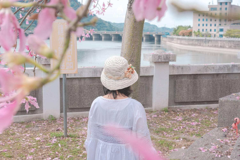 南投、集集|集集攔河堰旁美人樹,一解我對櫻花的思念